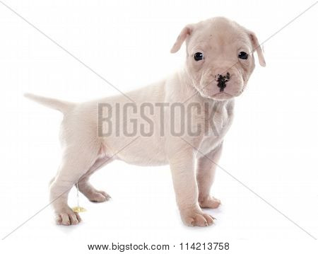 Puppy American Bulldog Urinating