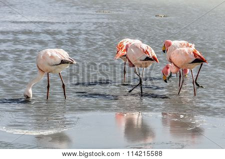 Flamingo Group In The High Andean Plateau, Bolivia