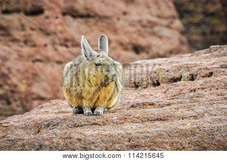 Cute Viscaca In The High Andean Plateau, Bolivia