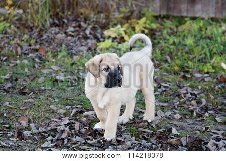 Puppy Of The Spanish Mastiff In Square  The Autumn Afternoon