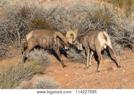 Desert Bighorn Rams Fighting