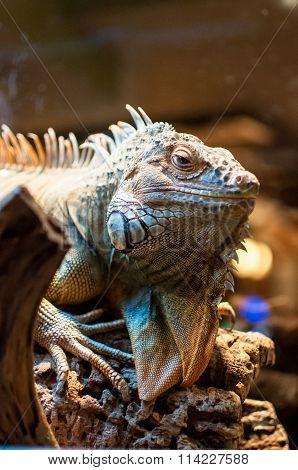 Iguana Sitting On A Branch In The Terrarium