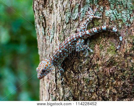 Tokay Gecko on tree in the Wild, Langkawi Malaysia