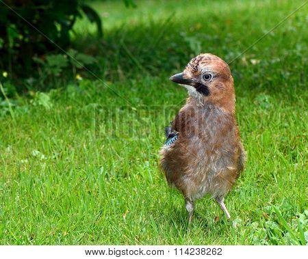 Jay (Garrulus glandarius) fledgling