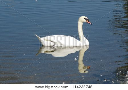 A swan gliding on the Mere