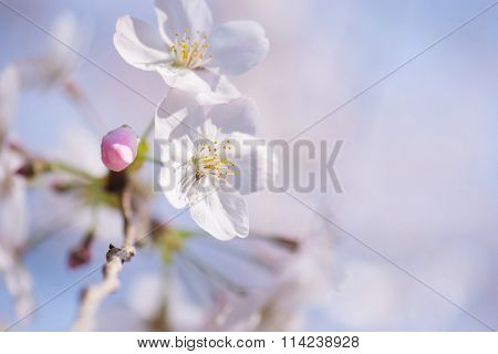 Spring cherry blossom with flower bud close up. Shallow depth of field.