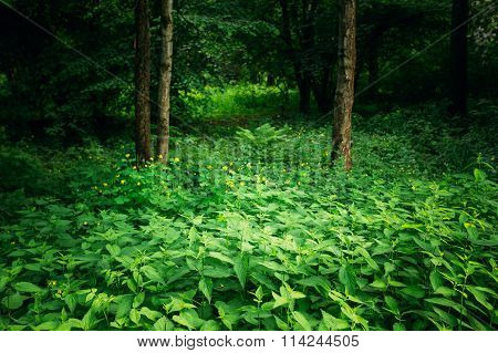 Summer Green Deciduous Forest Trees with Nettles