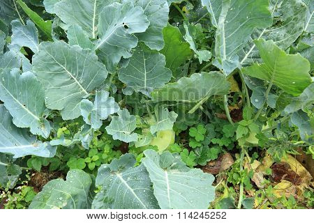 green turnip plants in growth at vegetable garden