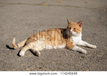 Red Cat Basking In The Sun