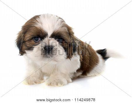 Young Puppy Shitzu