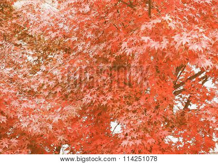 Retro Looking Red Maple Tree