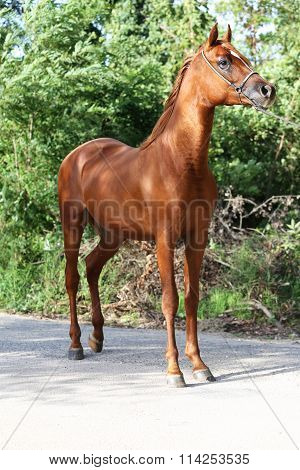 Purebred Arabian Stallion Standing At Ranch