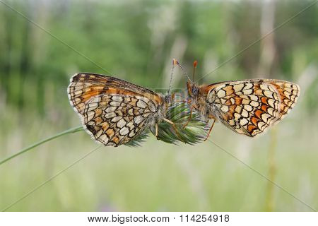 Butterfly - Heath Fritillary (Mellicta athalia)