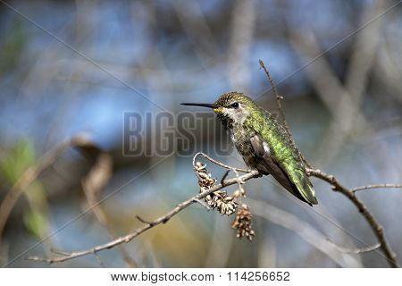 Anna's Hummingbird close up perched on a branch with flue sky in the background