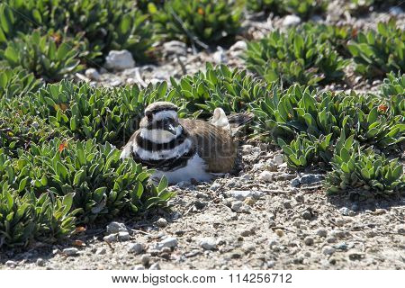 Killdeer Nesting on the ground