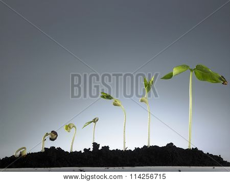 Growing plant in sequence isolated on gray background.
