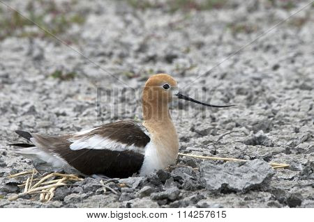 American Avocet Sitting on nest