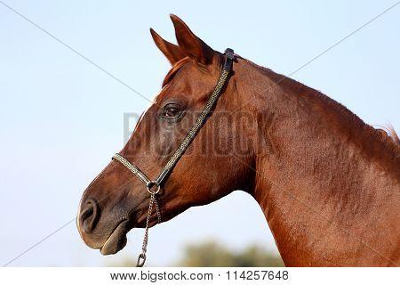 Head Shot Of A Beautiful Curious Stallion