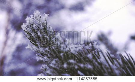 Pine Needles With Snow and Ice - Close-up