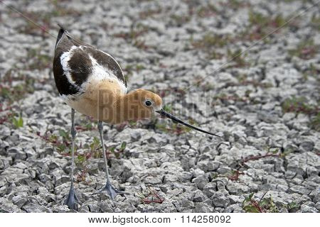 American Avocet Female defending her nest