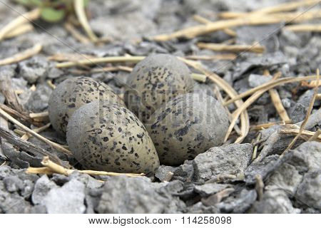 American Avocet Nest with eggs