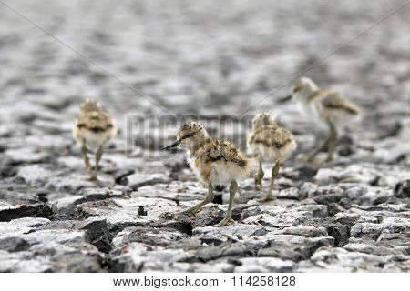 American Avocet brand new hatchling baby chicks
