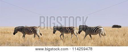 Three Zebras In African Savanna