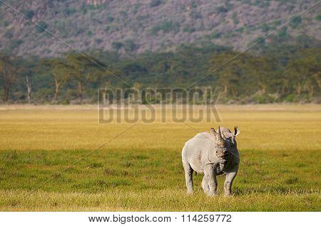 Black Rhino In The African Bush