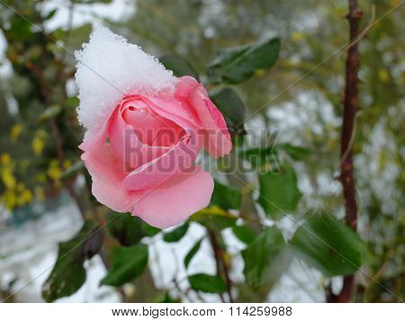 pink rose and snow