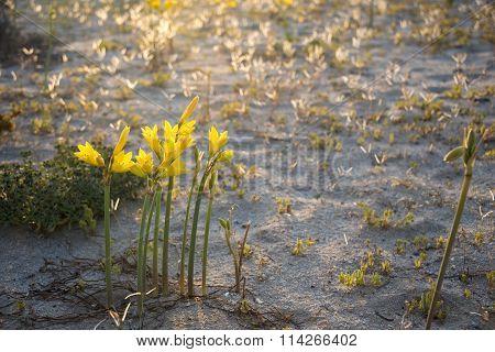 Ananuca Flowers In Atacama Desert, Chile