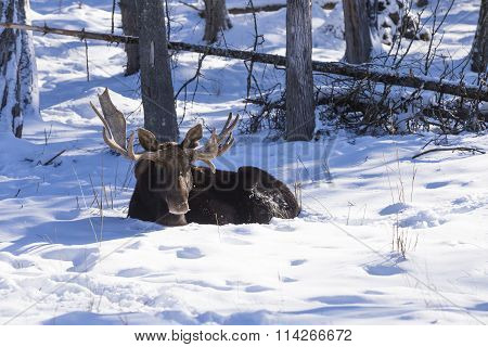 A resting moose in a winter scene