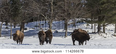American Field Buffalo in a winter scene