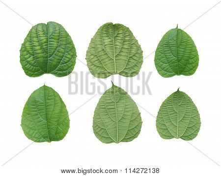 Collection Fresh Green Leaves Isolated On White Background.