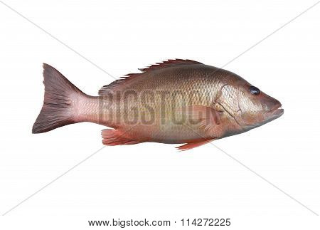 Fresh Red Snapper Fish Or Lutjanus Campechanusfish Isolated On A White Background.