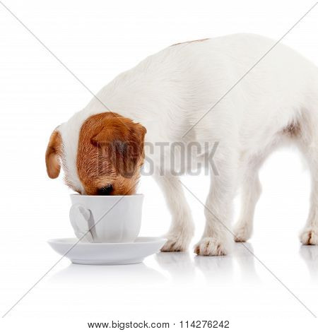 The Breed Doggie Jack Russell Drinks From A White Cup