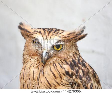 Brown Owl Bird