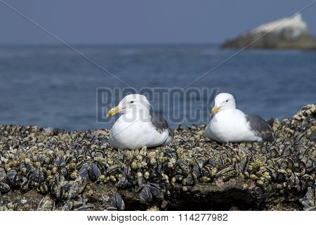 Two California Gulls resting on shore line rocks covered in mussels
