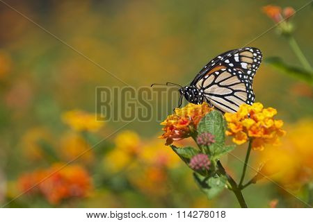 Monarch Butterfly on orange lantana flowers