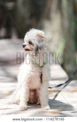 Poodle Dog Sitting.