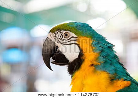 Close Up Of Blue-and-yellow Macaw (ara Ararauna)