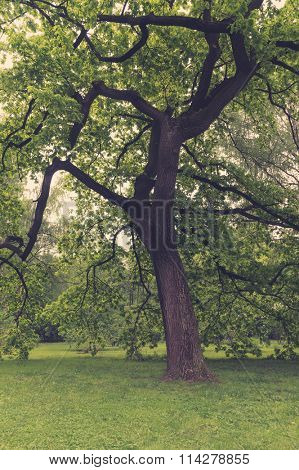 Ancient oaks leafy treetop