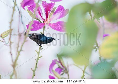 Purple Sunbird : Bird Perching On Flowers