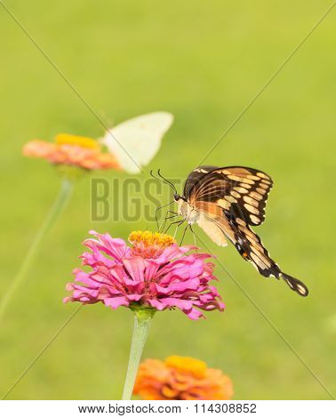 Giant Swallowtail butterfly feeding on Zinnia flower with another butterfly on background