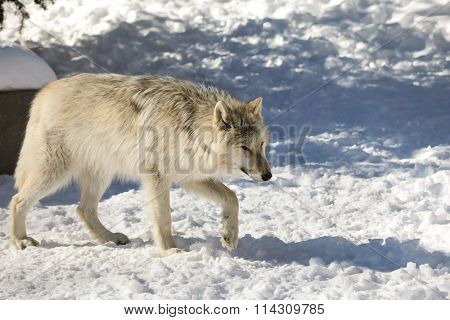 Canis lupus occidentalis  - Canadian/Rocky Mountain gray wolf