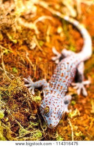 Exotic Animal Tokay Gecko Lizard