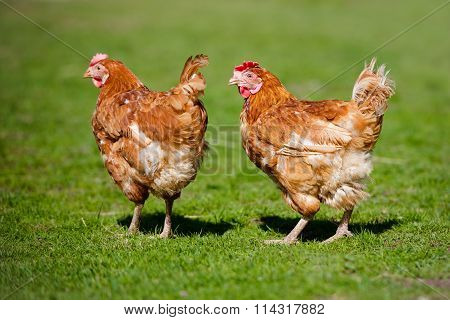two red chickens walking on grass