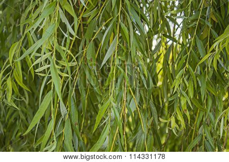branches of the weeping willow