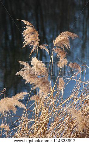 sear tall grass