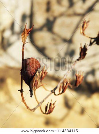 sear plant