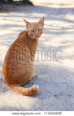 Full Body Of Siamese Thai Domestic Cat Eye Contact With Blur Background